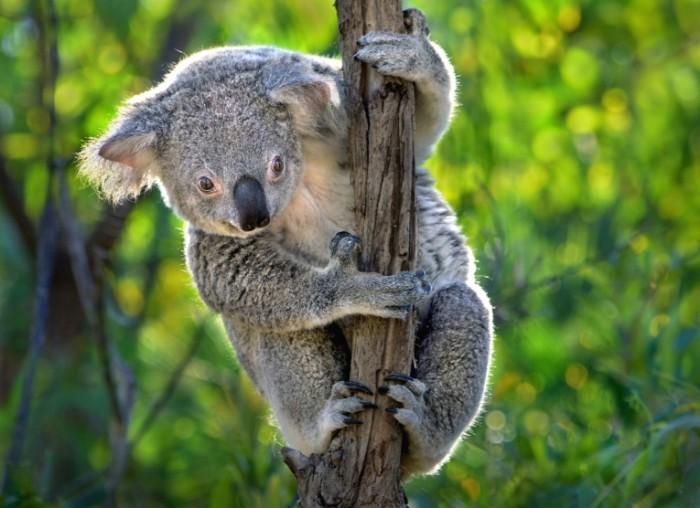 koala sumchatoe avstraliya 5312 700x508 Коала   Koala