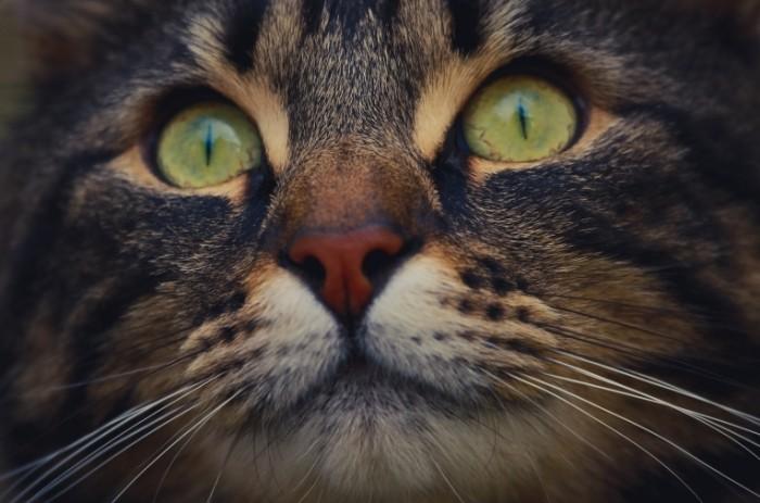 kot glaza nos usy makro 700x463 Кошачий глаз   Cat`s eye