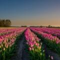 Поле тюльпанов - Tulip field