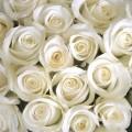 Белые розы - White roses