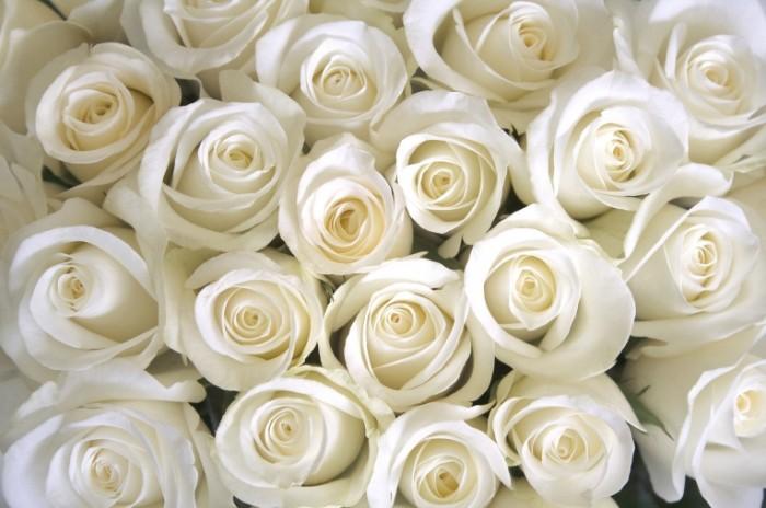 roses white rozy belye 700x464 Белые розы   White roses