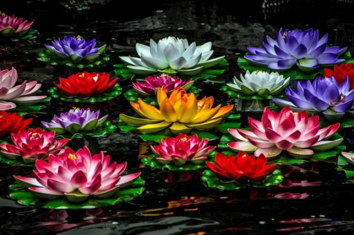 vodyanye lilii lilii 700x465 Водяные лилии   Water lilies
