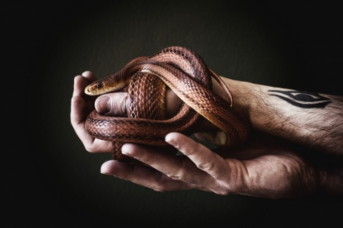 zmeia ruki podarok 700x466 Змея в руках   Snake in the hands