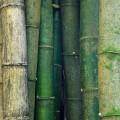 Бамбук растение - Bamboo plant