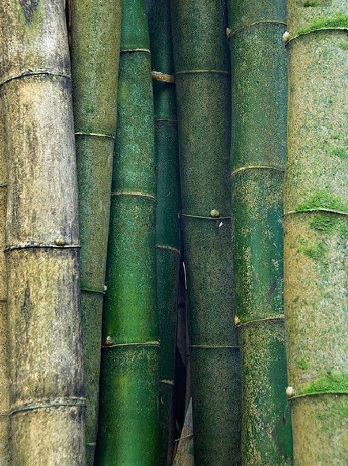 48fcec5ef6aa2b6b784712671367b735 Бамбук растение   Bamboo plant
