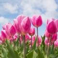 Розовые цветы - Pink flowers