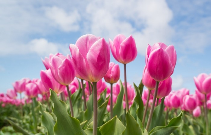 Rozovyie tsvetyi Pink flowers 700x449 Розовые цветы   Pink flowers