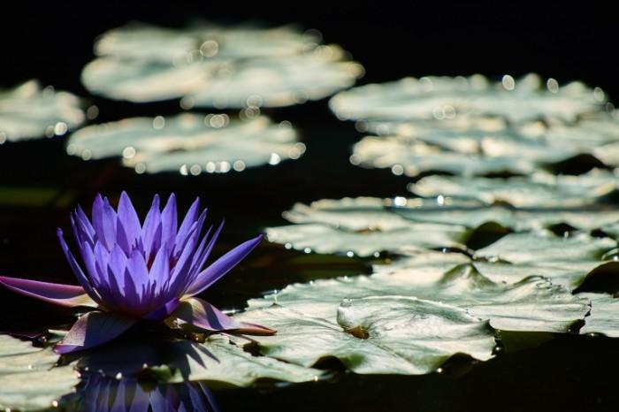Vodyanaya liliya Water lily 700x466 Водяная лилия   Water lily