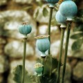 Мак растение - Poppy plant