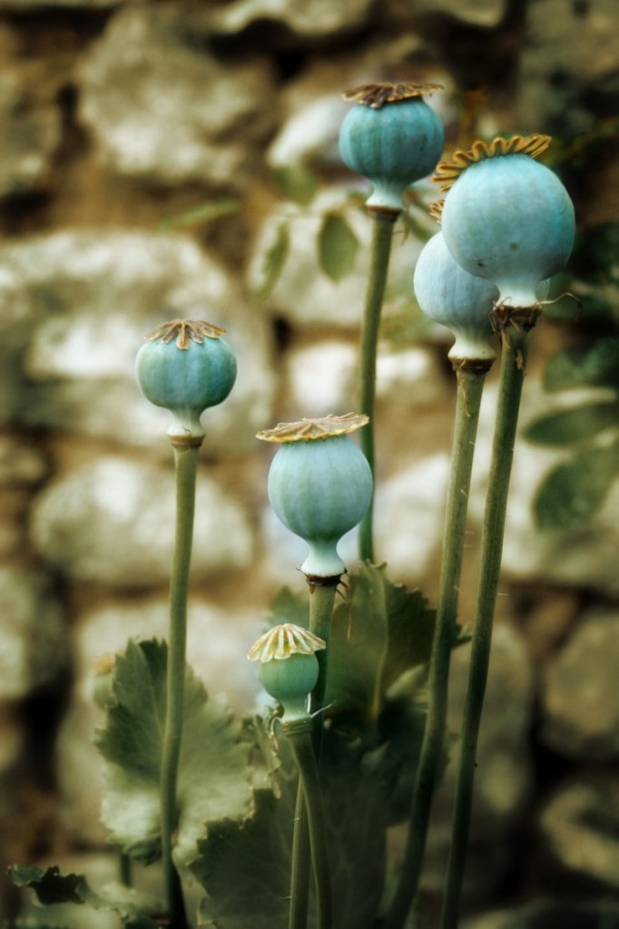 poppy pods by everestelle d3bkour 682x1024 Мак растение   Poppy plant