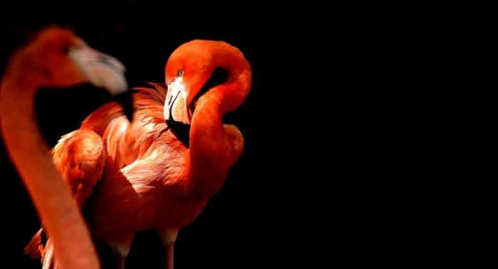 Flamingo Flamingo 700x379 Фламинго   Flamingo