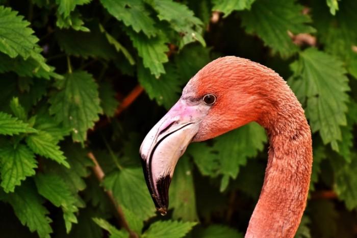 Flamingo Flamingo1 700x466 Фламинго   Flamingo