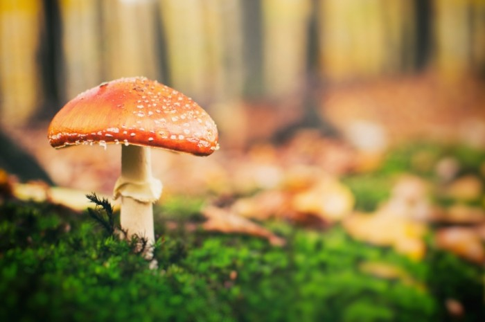 Grib v lesu Mushroom in the forest 700x465 Гриб в лесу   Mushroom in the forest