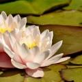 Кувшинки - Water Lilies