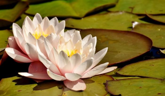 Kuvshinki Water Lilies 700x411 Кувшинки   Water Lilies