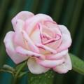 Роза - Rose