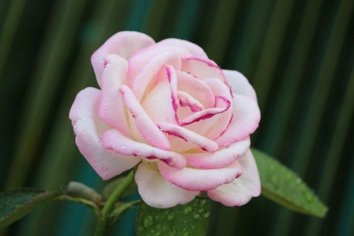 Roza Rose 700x466 Роза   Rose