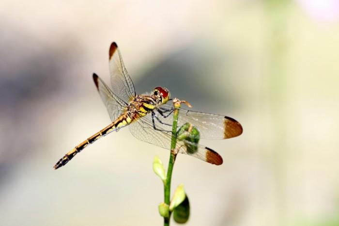 Strekoza Dragonfly 700x466 Стрекоза   Dragonfly