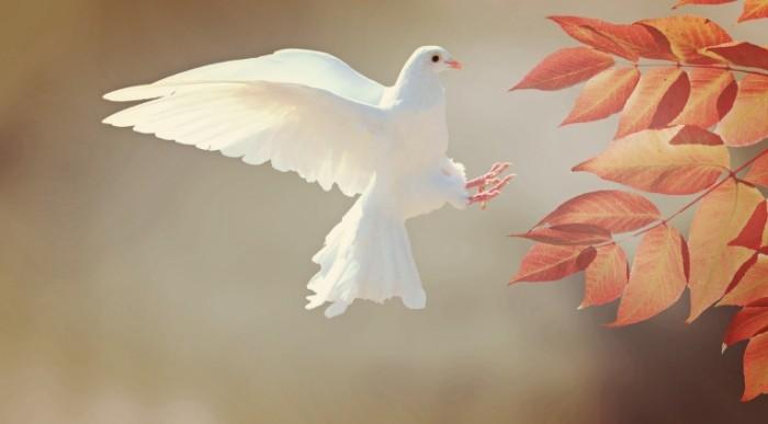 Belyiy golub White dove 700x387 Белый голубь   White dove