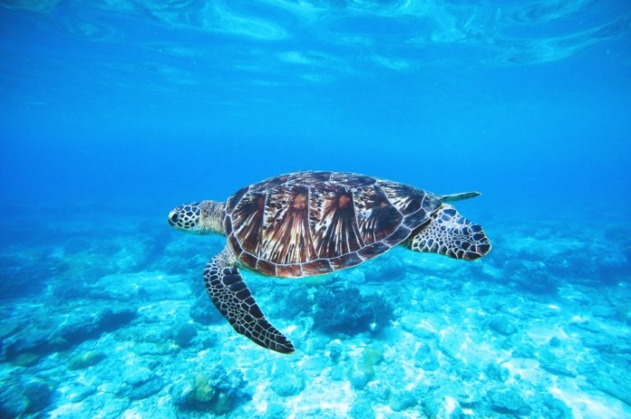 CHerepaha v okeane Tortoise in the ocean 700x465 Черепаха в океане   Tortoise in the ocean