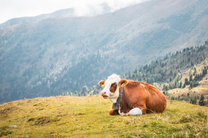 Korova Cow 700x466 Корова   Cow