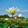 Лотос - Lotus