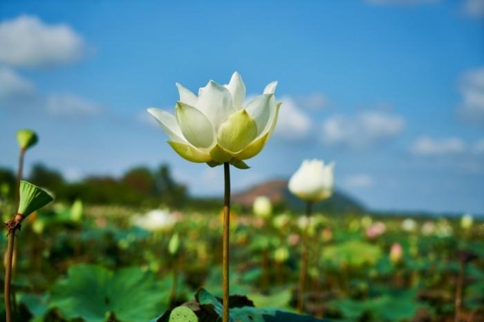 Lotos Lotus 700x466 Лотос   Lotus