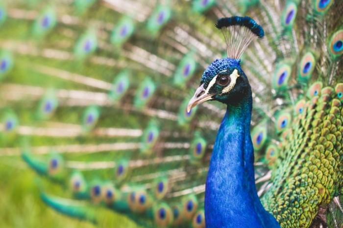 Pavlin Peacock 700x466 Павлин   Peacock