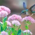 Колибри и цветы - Hummingbirds and flowers