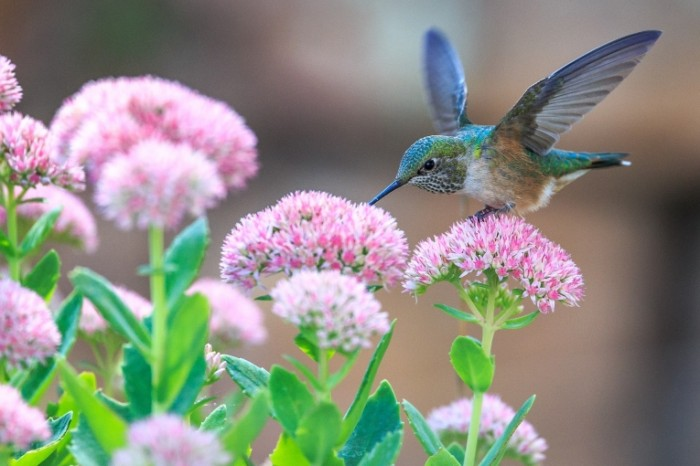 Kolibri i tsvetyi Hummingbirds and flowers 700x466 Колибри и цветы   Hummingbirds and flowers
