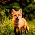 Лиса - Fox