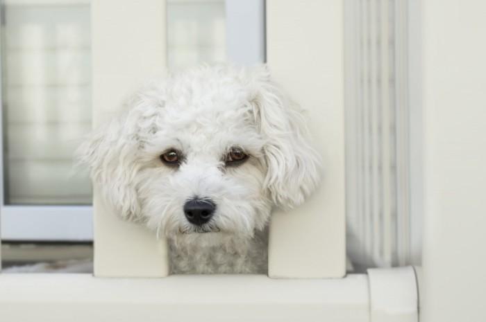 Sobaka s beloy sherstyu Dog with white wool 700x465 Собака с белой шерстью   Dog with white wool