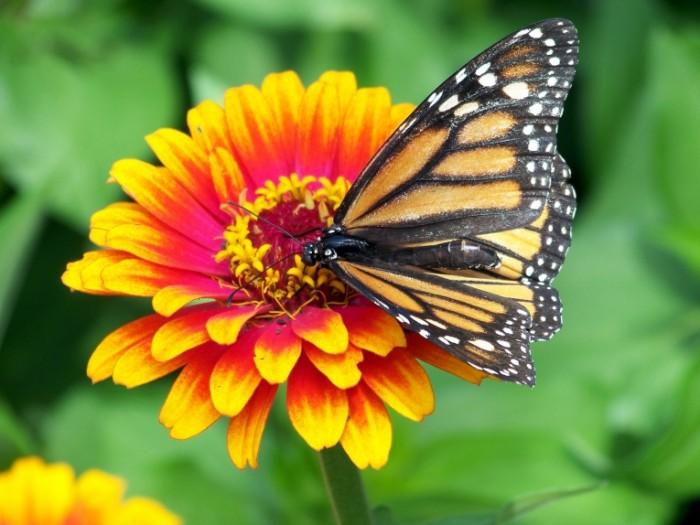 Babochka tsvetok Butterfly flower 700x525 Бабочка, цветок   Butterfly, flower