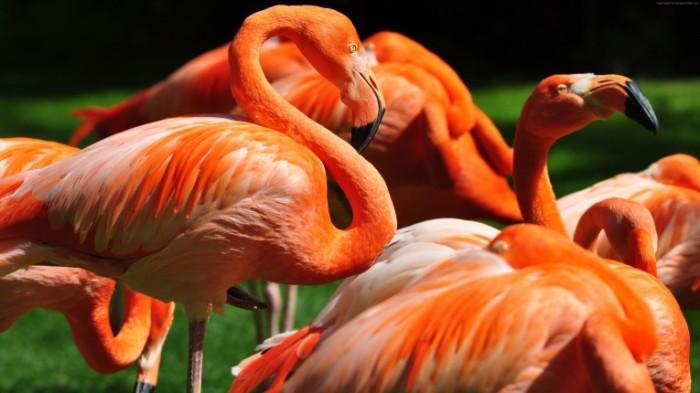 Flamingo Flamingo 5760x3240 700x393 Фламинго   Flamingo