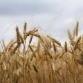 Поле пшеницы - Wheat field