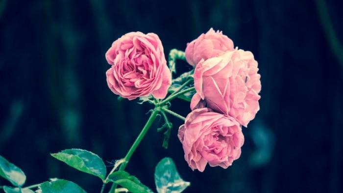 Rozovyie rozyi Pink roses 700x393 Розовые розы   Pink roses