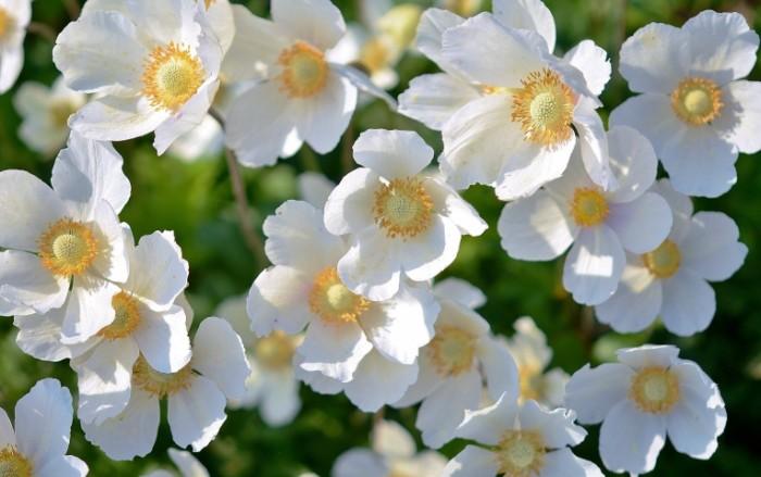 Belyie tsvetyi White flowers 700x439 Белые цветы   White flowers