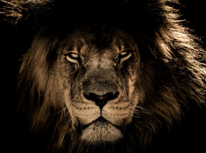 Lev Lion 700x520 Лев   Lion