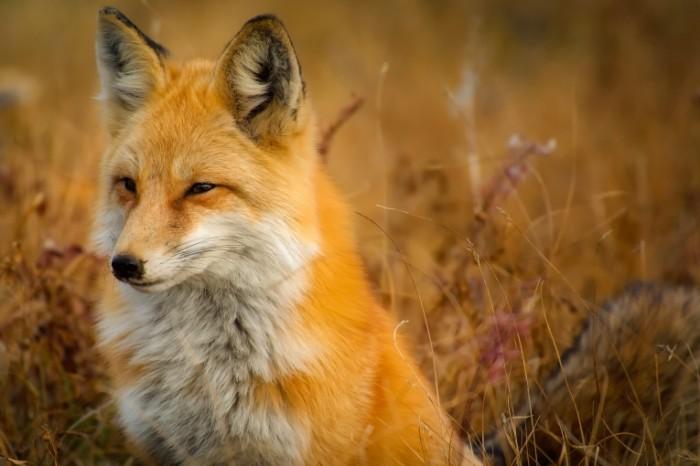 Lisa Fox 700x466 Лиса   Fox