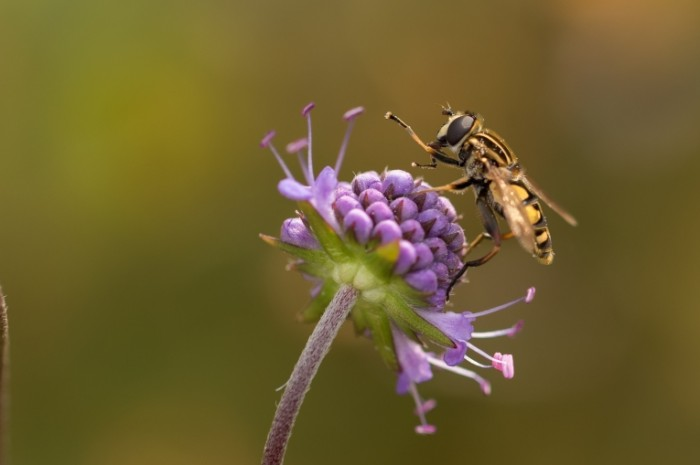 Osa tsvetok Wasp flower 700x465 Оса, цветок   Wasp, flower