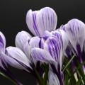 Цветы крокусы - Flowers of crocus