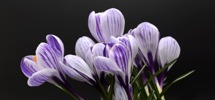TSvetyi krokusyi Flowers of crocus 700x326 Цветы крокусы   Flowers of crocus