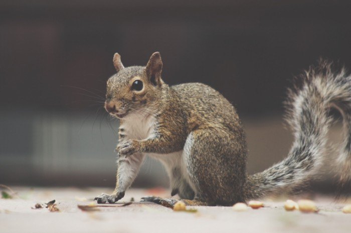 Belka Squirrel 700x466 Белка   Squirrel
