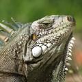Игуана - Iguana