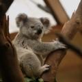 Коала - Koala