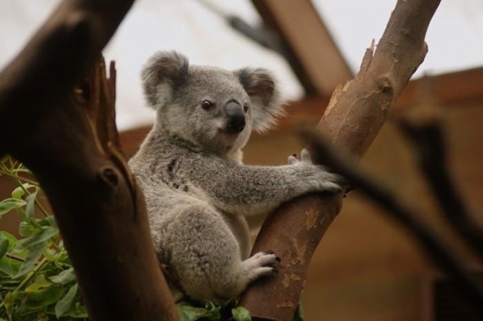 Kolala Koala 700x465 Коала   Koala