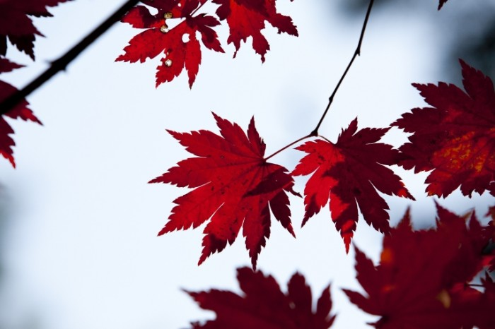 Osennie listya Autumn leaves 700x466 Осенние листья   Autumn leaves