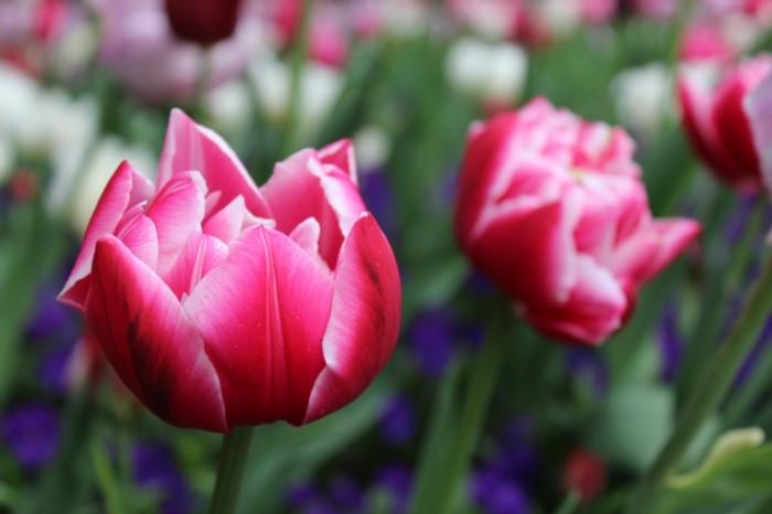 TSvetyi tyulpanyi Flowers tulips 700x466 Цветы, тюльпаны   Flowers, tulips