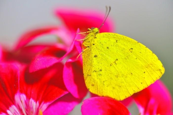Babochka Butterfly 700x465 Бабочка   Butterfly