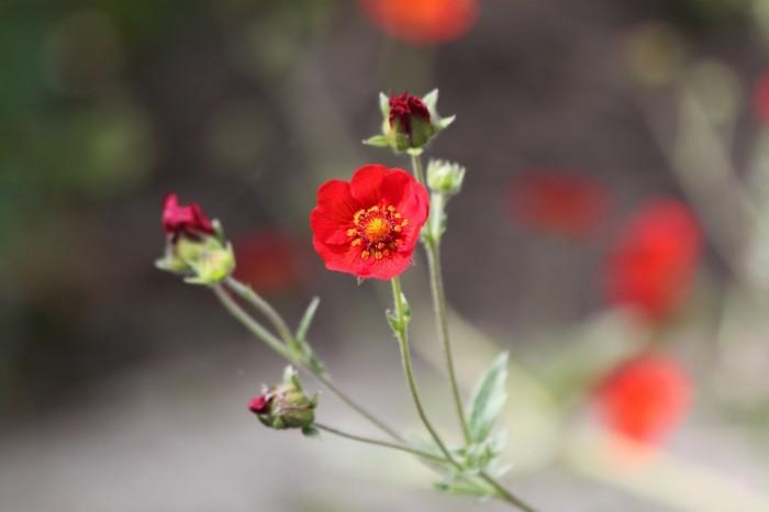 Krasnyie tsvetyi Red flowers 700x466 Красные цветы   Red flowers